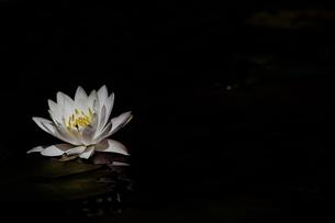 池に咲くスイレンの写真素材 [FYI04585710]