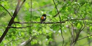 森の中のキビタキの写真素材 [FYI04585756]