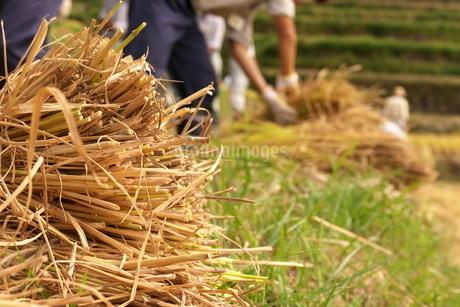 秋の収穫で、束になった稲の写真素材 [FYI04585862]