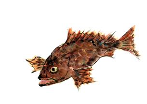 オニオコゼ 鬼虎魚 魚【水彩】の写真素材 [FYI04585894]