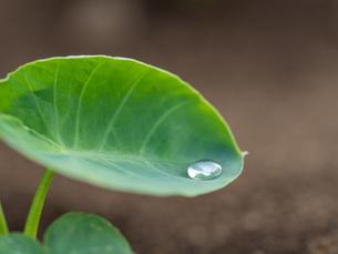 初夏の里芋の葉の写真素材 [FYI04586039]