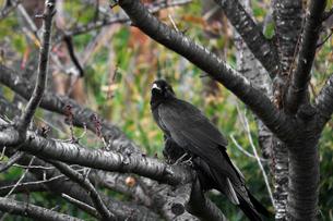 秋の森の落葉した木にとまる一羽のカラスの写真素材 [FYI04586130]