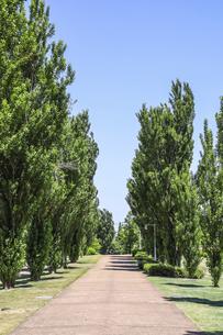 ポプラ並木の散策道の写真素材 [FYI04586421]