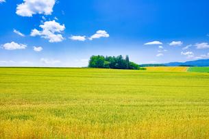 青空と麦畑の写真素材 [FYI04586858]