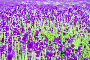 北海道 富良野の夏の風景 ラベンダーの写真素材 [FYI04586884]