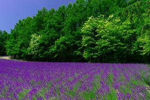 北海道 富良野の夏の風景 ラベンダーの写真素材 [FYI04586900]