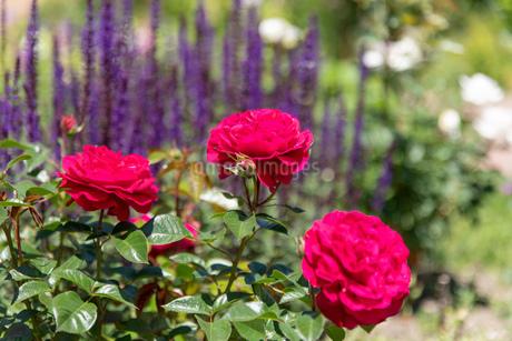 初夏のローズガーデンに咲く薔薇の花の写真素材 [FYI04587212]