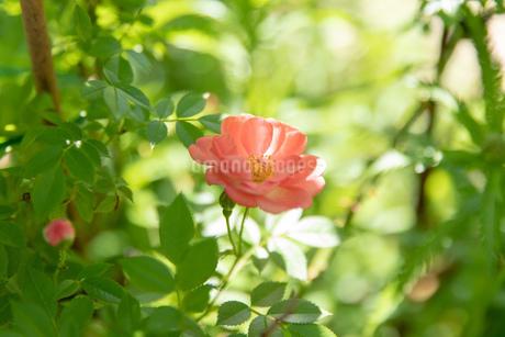 初夏のローズガーデンに咲く薔薇の花の写真素材 [FYI04587222]