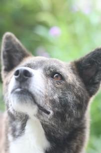 見上げる虎毛の犬の写真素材 [FYI04587604]