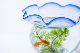 金魚鉢の写真素材 [FYI04587633]