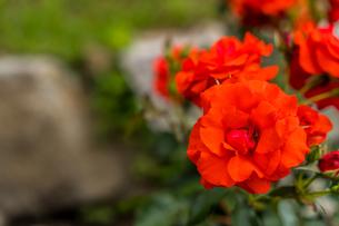鶴見緑地のバラ園にて赤い薔薇を撮影の写真素材 [FYI04587658]