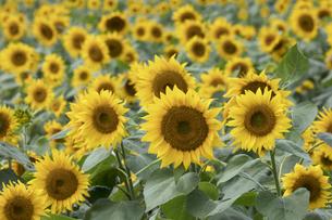 ヒマワリの花畑の写真素材 [FYI04587827]