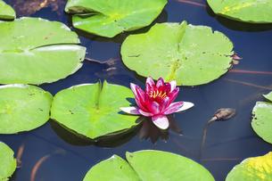 池に咲くスイレンの写真素材 [FYI04587935]