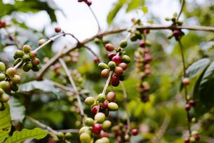 コーヒー豆の木の写真素材 [FYI04587938]
