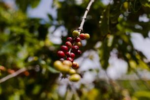 コーヒー豆の木の写真素材 [FYI04587947]