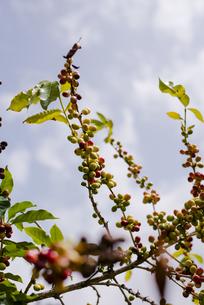 ハワイ島のコーヒー豆の木の写真素材 [FYI04587955]