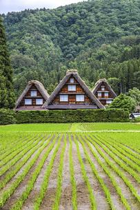 合掌造りの家屋と田植え後の水田,の写真素材 [FYI04587993]