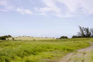 放牧された牛たちと空の写真素材 [FYI04588033]