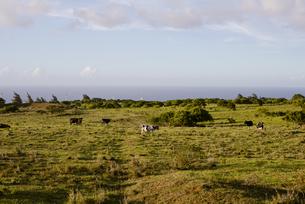牛と空と大地の写真素材 [FYI04588036]