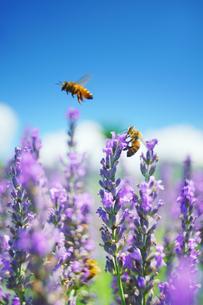 ミツバチのペアとラベンダーの写真素材 [FYI04588169]