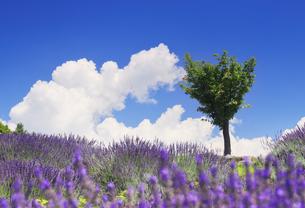 ラベンダー畑と木立と湧き立つ雲の写真素材 [FYI04588173]