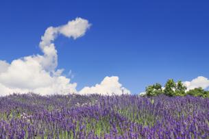 ラベンダー畑と湧き立つ雲の写真素材 [FYI04588178]