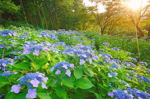 ガクアジサイと夕日の木もれ日の写真素材 [FYI04588198]