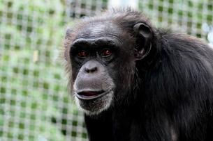 チンパンジーの穏やかな顔の写真素材 [FYI04588240]
