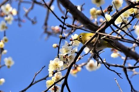 青空の下、春を告げる白梅が花開き、蜜を求めるメジロの至福のときの写真素材 [FYI04588458]