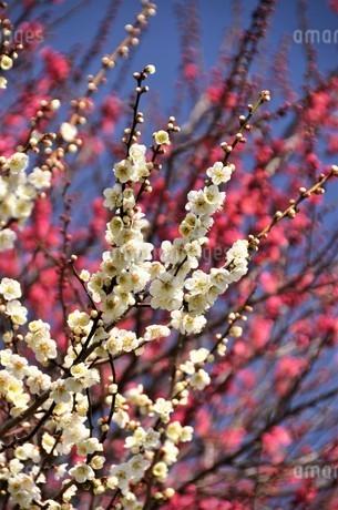 青空を背にした白梅が爽やかに花開き、後方の紅梅も競い合う様に咲き誇るの写真素材 [FYI04588462]