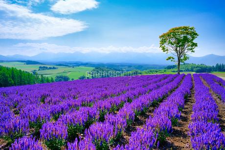 サルビアの花畑の写真素材 [FYI04588606]
