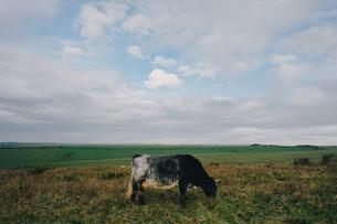 広大な野原にいる牛の写真素材 [FYI04588619]