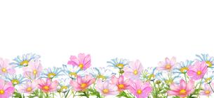 コスモスとマーガレットの花畑水彩画のイラスト素材 [FYI04588625]