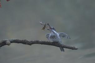 ウチダザリガニを捕らえたヤマセミの写真素材 [FYI04588637]