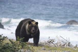 オホーツク海沿いを歩くヒグマの写真素材 [FYI04588659]