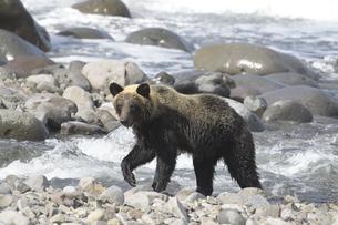 オホーツク海岸を歩くヒグマの写真素材 [FYI04588661]