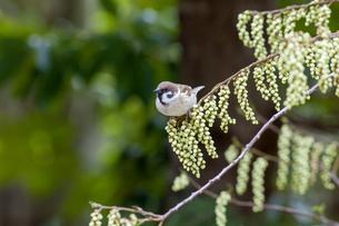 キブシの花の房に止まるスズメの写真素材 [FYI04588761]