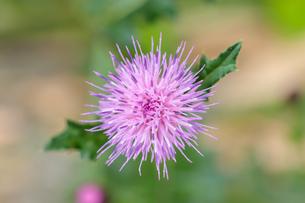 アザミの花(薊)の写真素材 [FYI04589207]