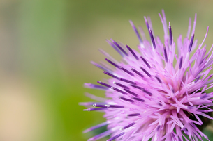 アザミの花(薊)の写真素材 [FYI04589208]