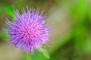 アザミの花(薊)の写真素材 [FYI04589209]