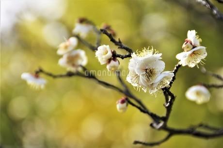 春の訪れを知らせる梅の花 白い花弁が逆光の陽射しを受け開花の写真素材 [FYI04589289]