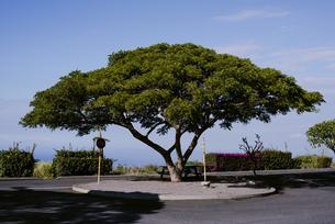 ハワイ島で傘のような大きな茂った葉の木の写真素材 [FYI04589734]