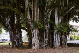 南国のマングローブの木の写真素材 [FYI04589801]