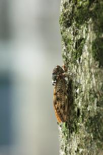 街路樹にアブラゼミの写真素材 [FYI04590046]
