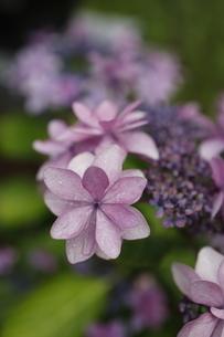 紫陽花の写真素材 [FYI04590069]