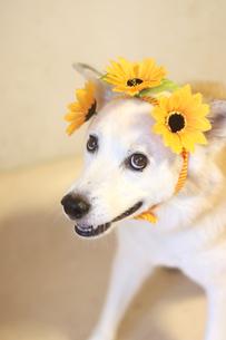 頭にヒマワリの飾りを乗せた笑顔の犬の写真素材 [FYI04590185]