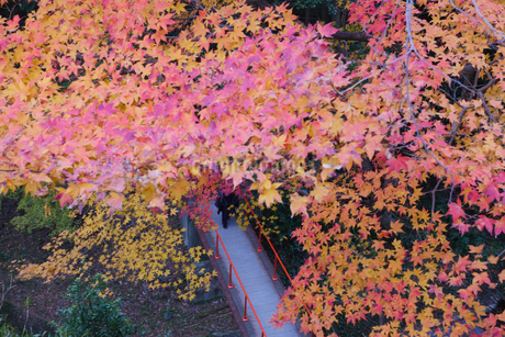 秋の水沢もみじ谷の紅葉に包まれる道の写真素材 [FYI04590800]