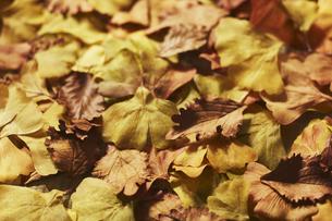 落ち葉の集合の写真素材 [FYI04591124]