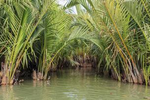ニッパヤシのジャングル ベトナム ホイアンの写真素材 [FYI04591361]