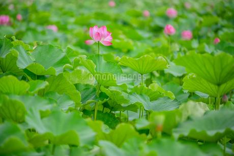 ハス Lotusの写真素材 [FYI04591591]
